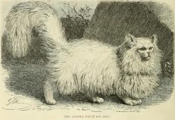 Старинный рисунок персидской кошки