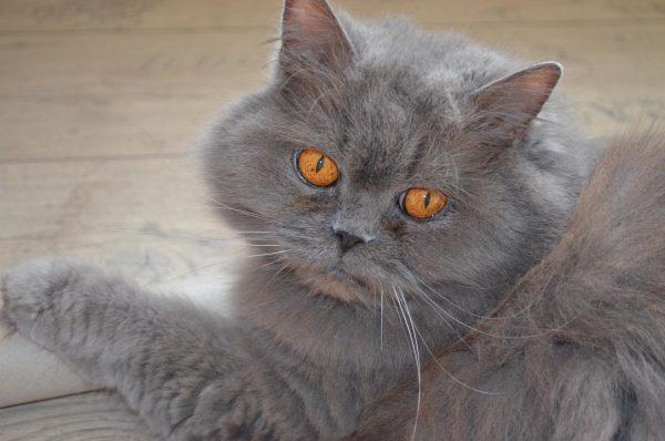 Британский персидский кот