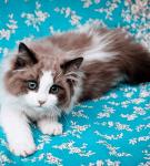 Молодой кот породы рэгдолл