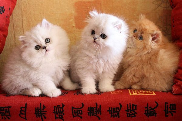 Три персидских котёнка сидят на диване