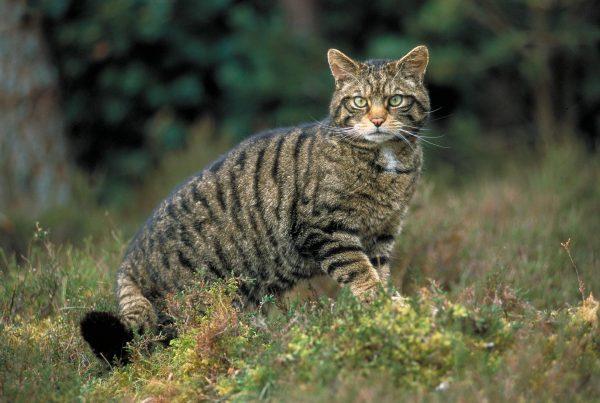 Дикий лесной кот стоит в траве на опушке