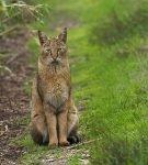 Камышовый лесной кот сидит на просёлочной дороге