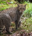 Европейская лесная кошка идёт, оглядываясь назад