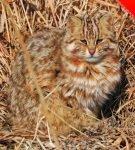 Амурский лесной кот сидит в сухой траве
