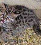 Котёнок дальневосточного лесного кота кричит, сидя в загоне