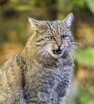 Кавказский лесной кот сидит в траве и рычит