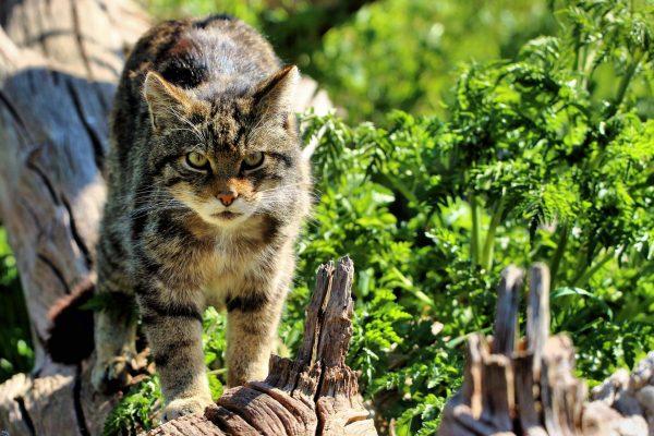 Шотландский лесной кот идёт по бревну