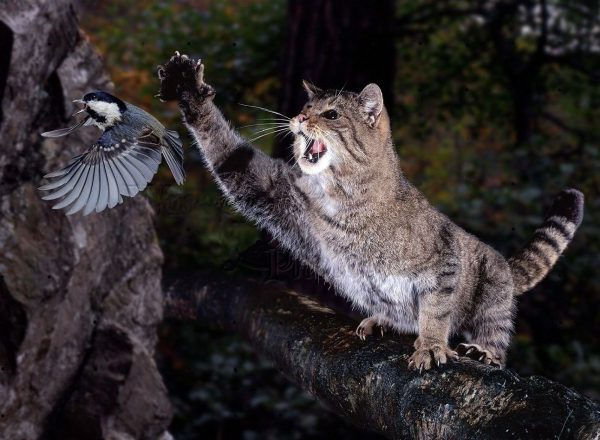 Лесной кот, сидя на дереве, ловит лапой летящую птицу