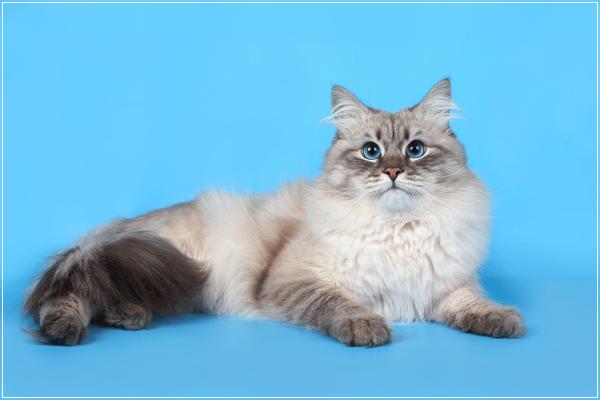 Серая пушистая кошка породы невская маскарадная