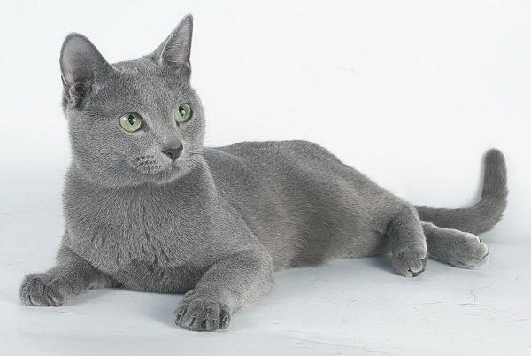 Русская голубая кошка лежит на белом фоне