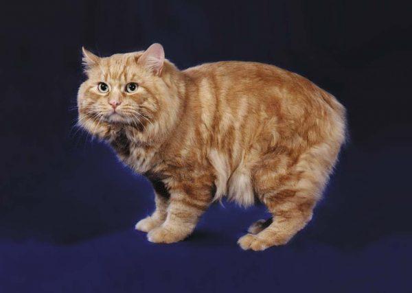 Рыжий кот породы кимрик