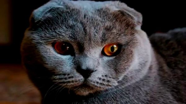 Голова шотландской вислоухой кошки