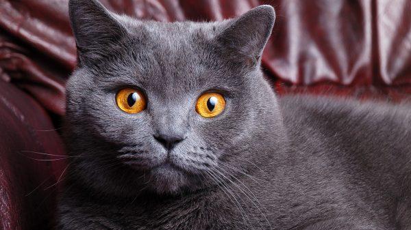 Морда британской короткошёрстной кошки