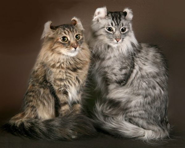 Две серые кошки породы американский кёрл