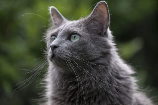 Серая голова кошки нибелунг