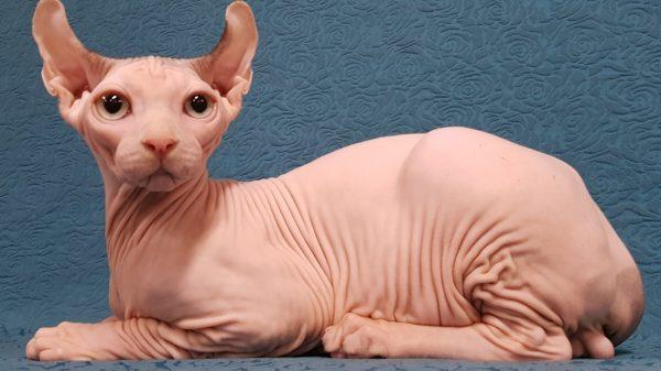 Розовая кошка породы эльф лежит