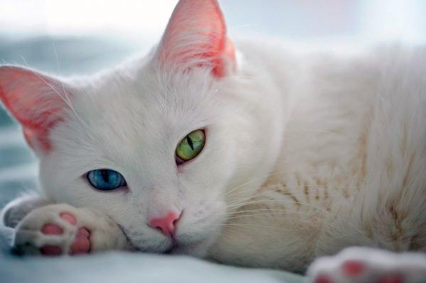 Голова кошки као мани