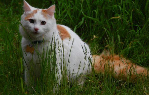 Кошка турецкий ван в траве