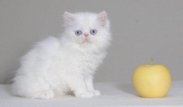 Белая кошка наполеон и яблоко
