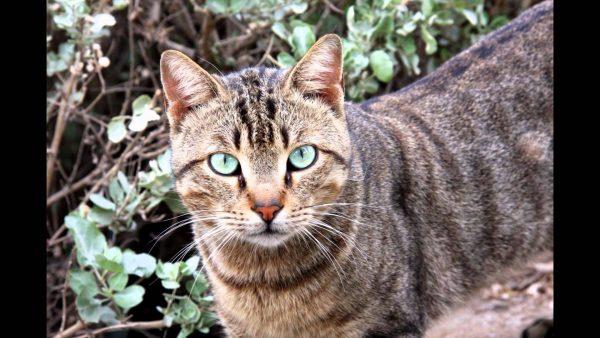 Полосатый кот ли хуа мао
