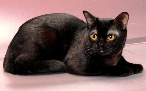 Чёрная бомбейская кошка лежит