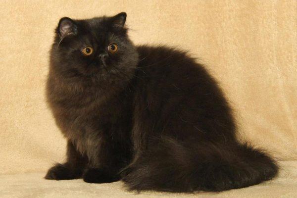 Чёрный персидский кот сидит