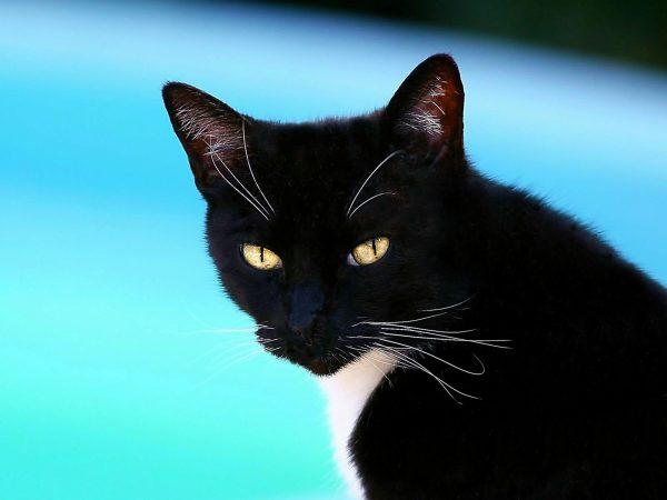 Голова чёрной американской гладкошёрстной кошки