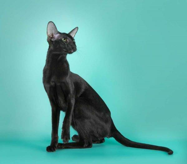 Черная ориентальная кошка сидит