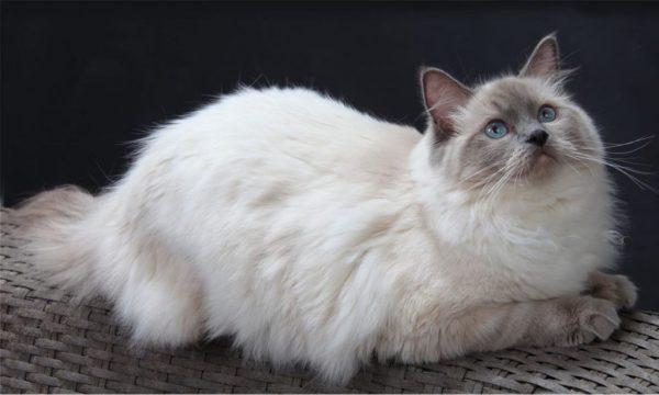 Кошка регдолл лежит