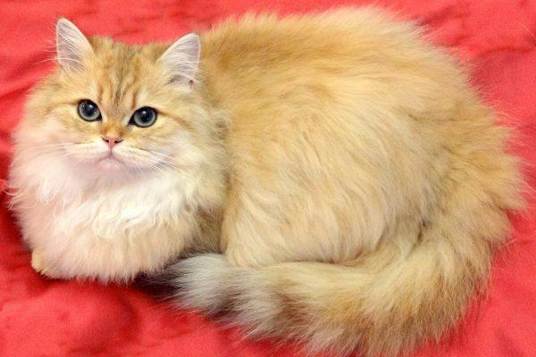 Рыжая британская длинношёрстная кошка