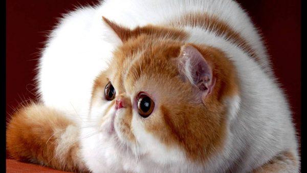 Бело-рыжий экзотический кот