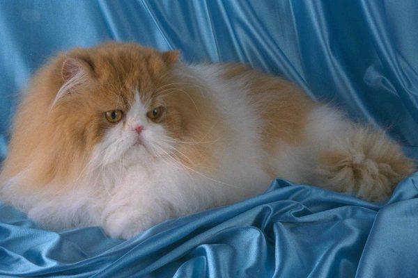 Рыжый персидский кот на голубом