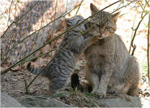 Кавказская лесная кошка играет с котёнком