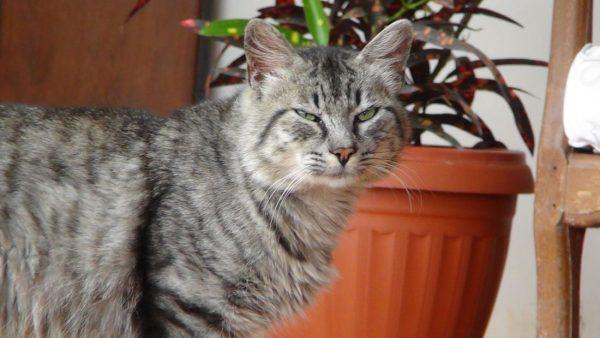 Одомашненный лесной кот стоит в комнате рядом с цветочным горшком