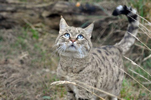Европейский лесной кот стоит, глядя вверх