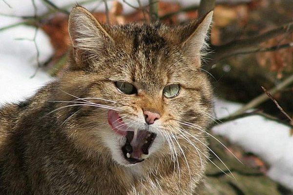 Голова облизывающегося европейского дикого кота