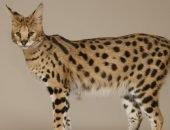 Пятнистая кошка породы саванна