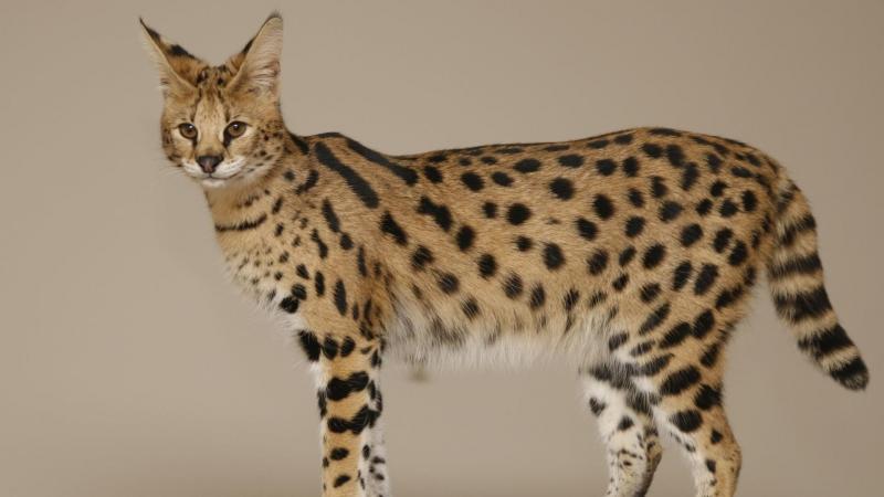 Порода кошек саванна - 32 фото
