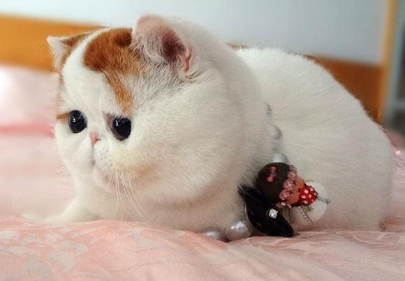 Экзотический кот в бусах
