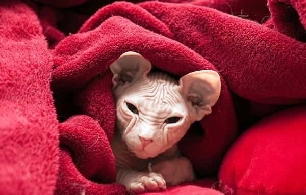 Сфинкс в одеяле