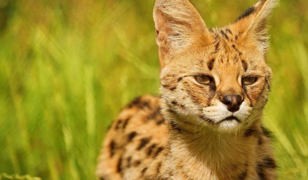 Кошка породы саванна на фоне травы