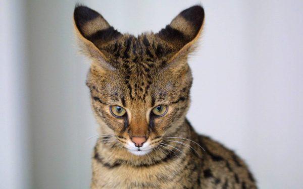 Кошка саванна смотрит в объектив
