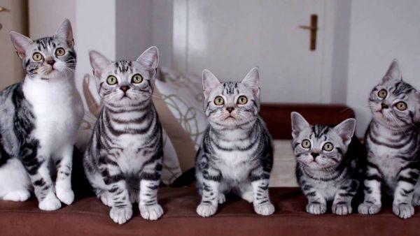 Американские короткошёрстные кошки сидят