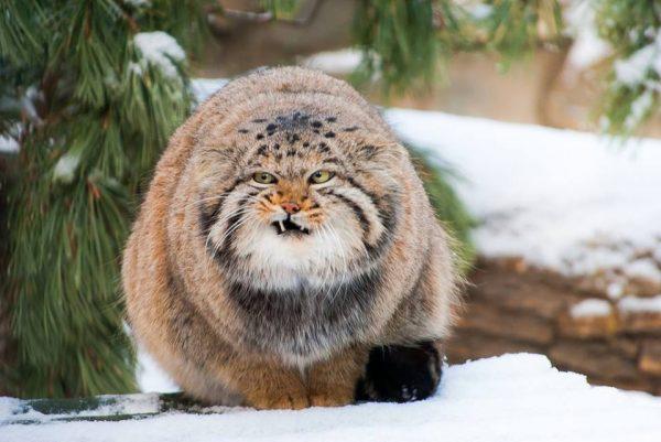Манул на снегу