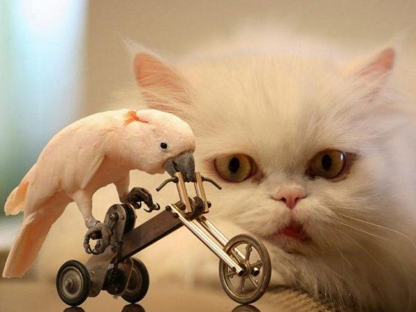 Персидский кот и попугай