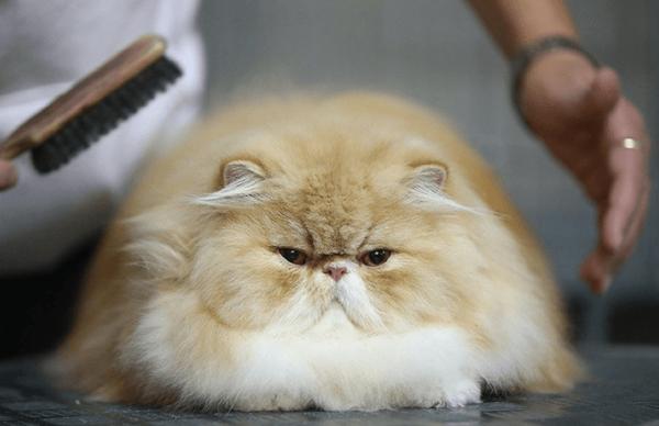 Мужчина расчёсывает персидского кота