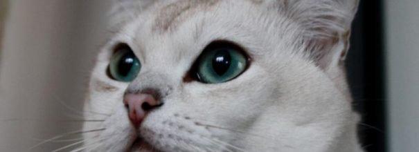 Морда кошки породы бурмилла