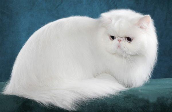 Американский персидский кот