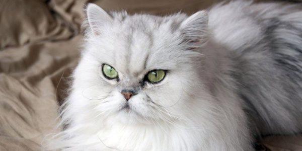 Коротконосый персидский кот