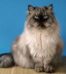 Персидский кот колор-пойнт